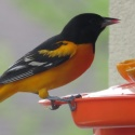 Baltimore oriole w jelly